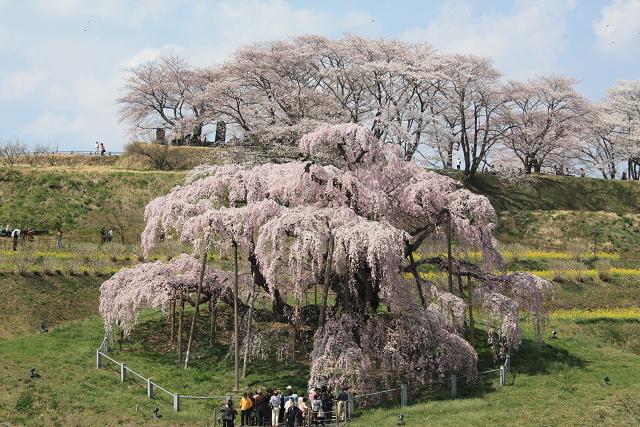 smiharu takizakura  ⑦三春滝桜(三春町) 日本三大桜に数えられる滝桜は、大正