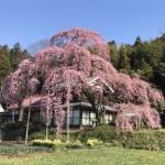 横田陣屋御殿桜-616x462