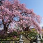 金毘羅桜201604061-2-616x462