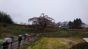 410 三春滝桜_190410_0001