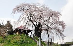 上石の不動桜