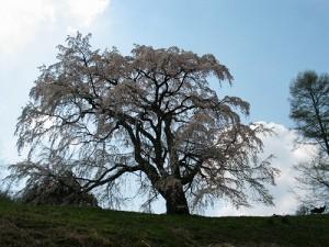 五斗蒔田の桜