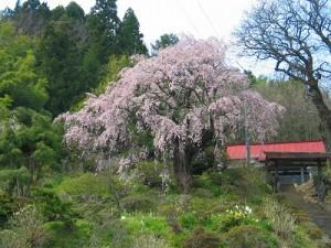 瑞雲寺の桜
